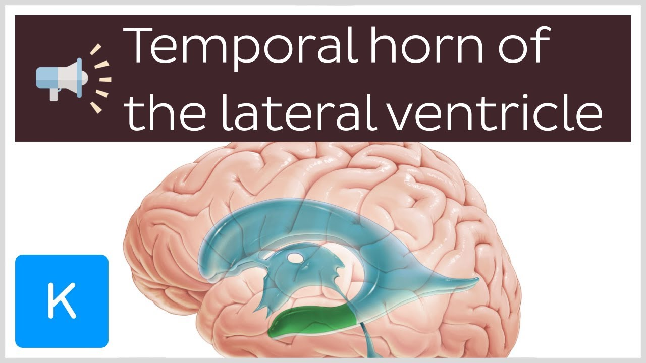 Temporal horn of the lateral ventricle   Anatomical Terms Pronunciation by  Kenhub