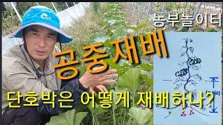 ●단호박 공중재배법● 단호박은 어떻게 재배하나? How…