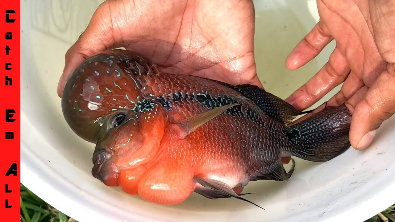 EXOTIC FLOWERHORN FISH in POND! - YouTube