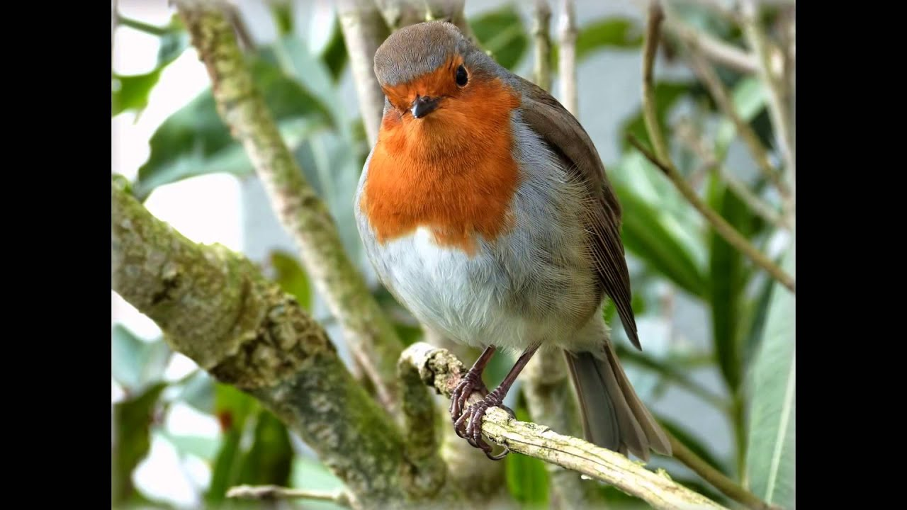 le Rouge-Gorge .L' oiseau emblématique des jardins - YouTube
