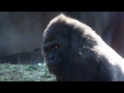 Silverback Gorilla Beating His Chest and More Gorilla Footage St Louis Zoo