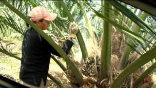 Palma de Aceite Alto Oleico - Una gran alternativa para la palma en América Tropical