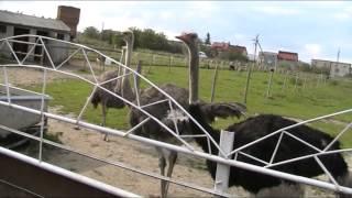 видео страусов(где посмотреть на страусов г. Турка львовская область., 2015-09-18T14:05:57.000Z)