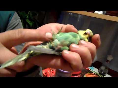 Как лечить волнистого попугая в домашних условиях