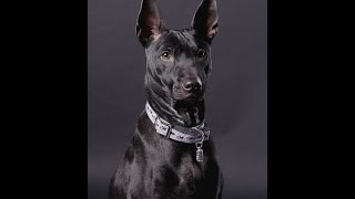 Thai Ridgeback Dog - Тайский Риджбек - Dog meets the owner