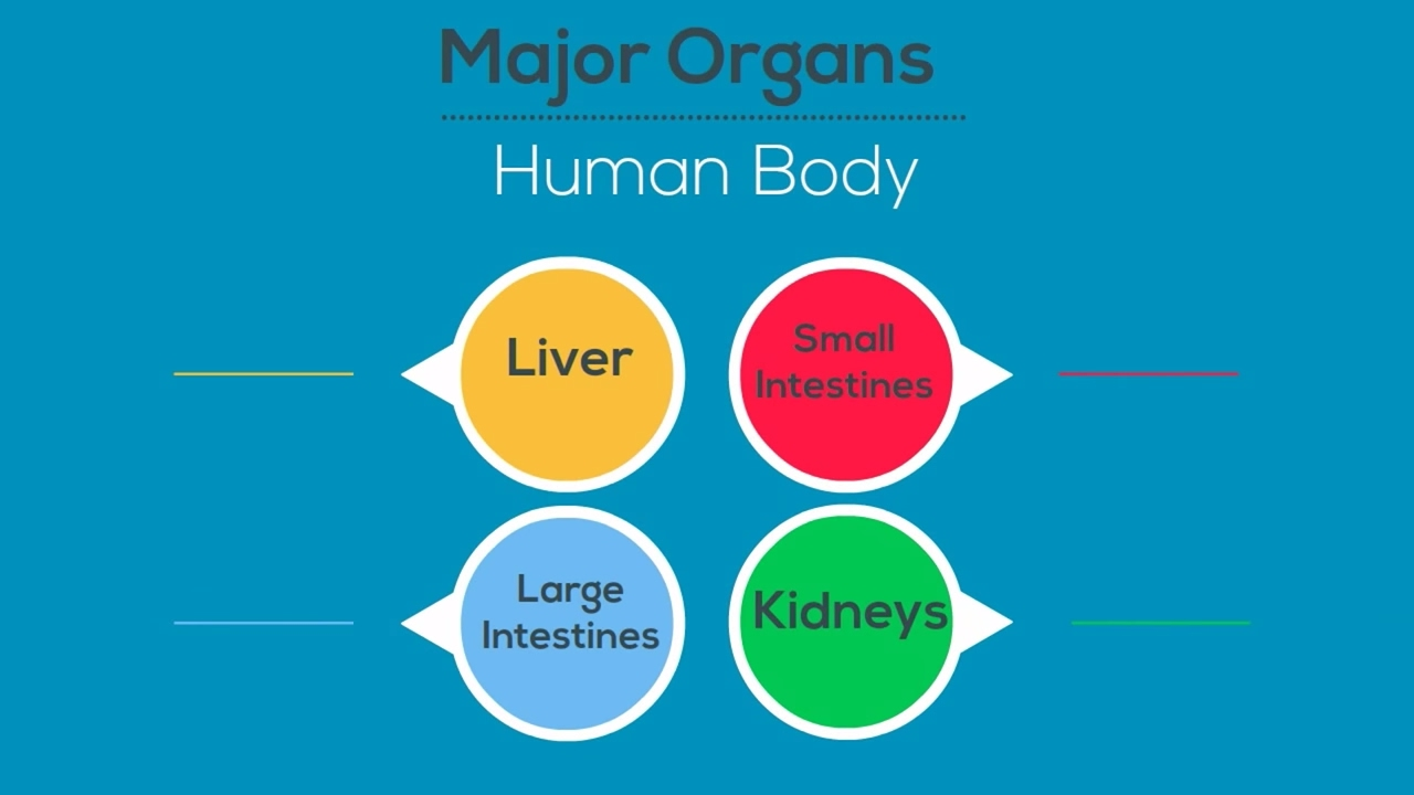 Major Organs of the Human Body - YouTube