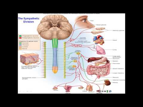 Chapter 15 The Autonomic Nervous System and Visceral Reflexes