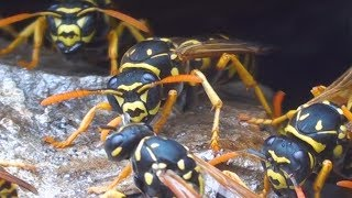 European Paper Wasp Nest (Polistes dominula) - Liguria Italy