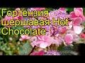 Поделки - Гортензия шершавая Горячий шоколад (Хот шоколад). Краткий обзор hydrangea aspera Hot Chocolate