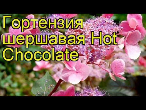 Гортензия шершавая Горячий шоколад (Хот шоколад). Краткий обзор hydrangea aspera Hot Chocolate