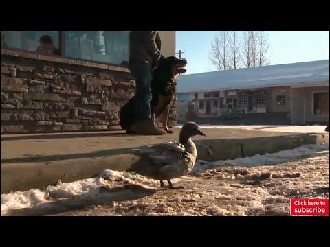 Alberta duck and dog prove loves comes in all shapes and sizes