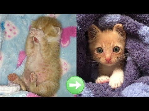 Rescue Tiny But Fierce Kitten Transform To Super Cute Cat