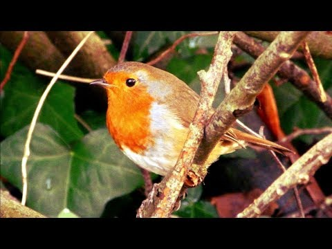 🐤Robin Redbreast,Man's Best Bird Friend🐥