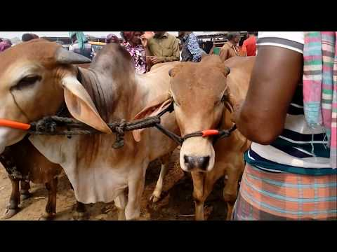 Best young cows for sale the line in market west bengal
