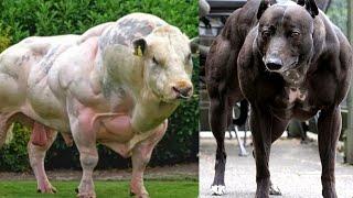 5 Animales Modificados Geneticamente / (Animales Musculosos)