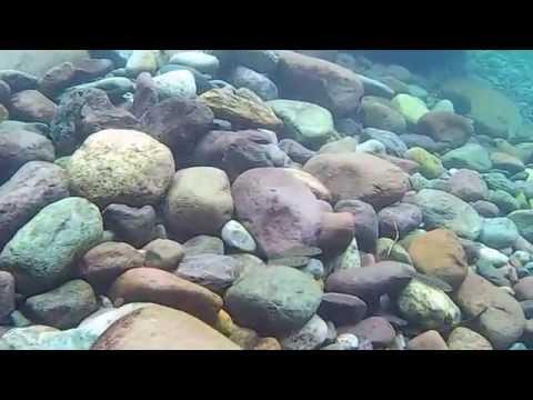 Truite En Corse En Vue Subaquatique (Truite Macrotisgma)