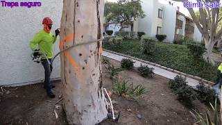 Derribando árbol de eucalipto en SRT Petzl zigzag,chicane 💪🏾✌🏾😁