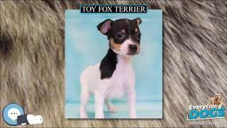 Toy Fox Terrier  Everything Dog Breeds
