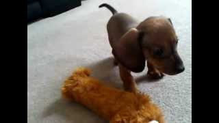Dachshund Puppy Tom Barking At His Reflection