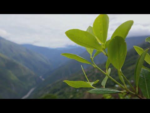 Как выглядят листья коки