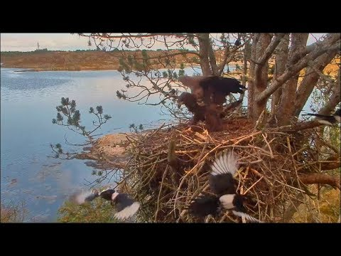 Smola Norway Eagles Cam ~ Solo Re-Claims His Nest & Chases Off Magpies 8.24.17