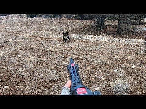Harika çekimlerle dolu yaban domuzu avı/Perfect Wild boar hunting in Turkey.