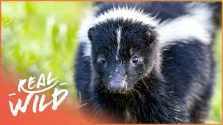 The Skunk: A Real Havoc 'Reeker' (Wildlife Documentary) | Wild America | Real Wild