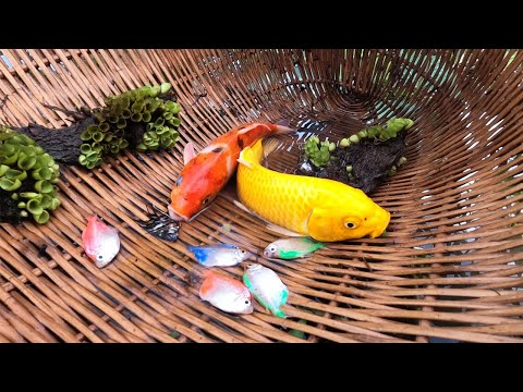 Wow Luckily! Catch Up KOI And Many Colorful Fish Never Seen Before