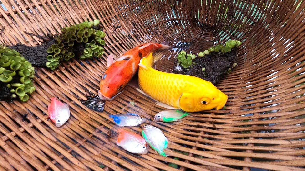 Download Wow luckily! Catch up KOI and many colorful fish never seen before