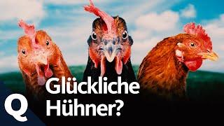 Mehr Tierwohl für Hühner: Was jeder dafür tun kann (Ganze Folge) | Quarks