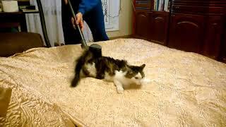Избавление кота от излишней шерсти пылесосом