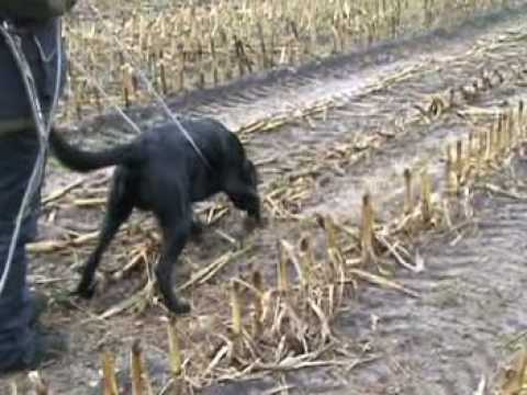 Tracking with 13 month old labrador retriever