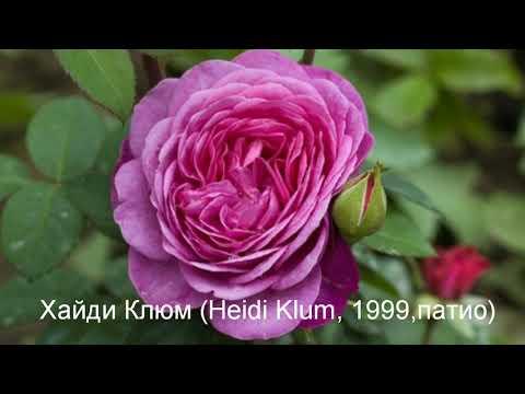 Rose//Розы// Самые безпроблемные и красивые сорта немецкого питомника Тантау!ТОП 45!