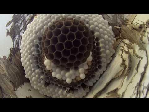 Baldfaced Hornet Nest Removed From Garage Door.