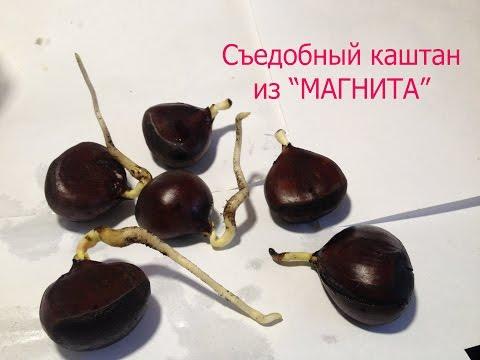 1.Chestnut.Выращиваю съедобный каштан из магазина Магнит.
