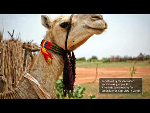 Livestock protection in Darfur – Sudan FAO (EN)