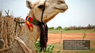 Livestock protection in Darfur – Sudan FAO (EN)