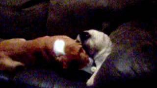 Beagle Vs Pug