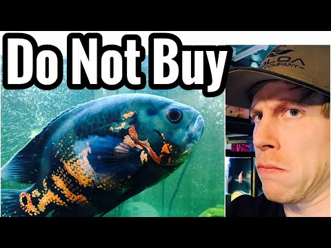 Don't Buy Oscar Fish - 6 Reasons Why
