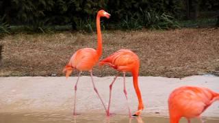 홍학 (紅鶴, flamingo) - 5