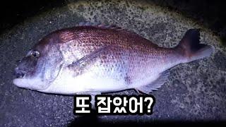 바다낚시터 선재낚시공원 3주연속 대돔을 잡다!
