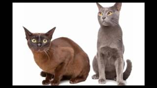 Havana Brown Cat and Kittens | History of the Havana Brown Cat Breed