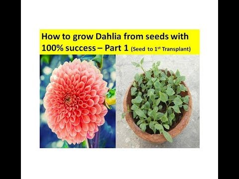How To Grow Dahlia From Seeds With 100