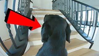 Leaving My Labrador Home Alone With A GoPro...