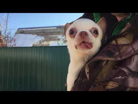 Козы, солнце, сумасшедшая чихуахуа Мика | Goats, The Sun, The Crazy Chihuahua Mika