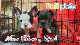 Bull pháp màu Red , Blue , bò sữa cần tìm chủ mới ! @Trại Chó Bình Cao