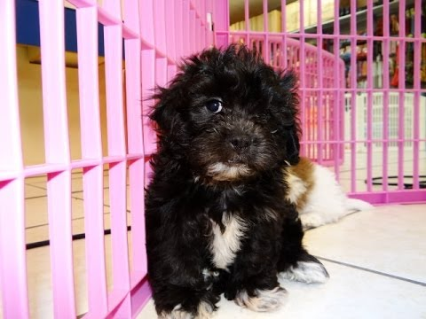 Teddy Bear Puppies For Sale In Charlotte North
