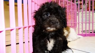 Teddy Bear, Puppies, For, Sale, In, Charlotte, North Carolina, Nc, Lexington, Clemmons, Fuquay Varin