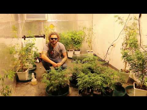 How to Foliar Feed Your Plants | Cannabis Foliar Feeding