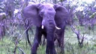 Lions World ♛ The Battle between `Big Mak ` & `Pretty Boy ` Mapogo and Elephant Bull